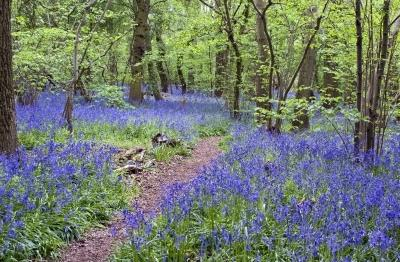 Bluebell flowers in the woods